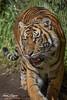 Suka (ToddLahman) Tags: suka sumatrantiger beautiful outdoors male mammal sandiegozoosafaripark safaripark canon7dmkii canon canon100400 closeup exhibita tiger tigers tigertrail teddy joanne escondido eyelock