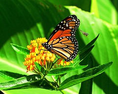 Monarch Butterfly and Bee (KoolPix) Tags: butterfly insect wings antenna plant koolpix jaykoolpix naturephotography nature wildlife wildlifephotos naturephotos naturephotographer animalphotographer wcswebsite nationalgeographic fantasticnature amazingnature animal amazingwildlifephotos fantasticnaturephotos incrediblenature naturephotographywildlifephotography wildlifephotographer mothernature monarch monarchbutterfly