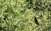 Rufescent Tiger Heron (helmutnc) Tags: hennysanimals hg specanimal sweetfreedom