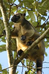 Lumholtz Tree-kangaroo (Caleb McElrea) Tags: athertontableland farnorthqueensland wettropics worldheritagearea unesco queensland tropical hot warm humid australia topend lumholtztreekangaroo treekangaroo macropod rainforest rare