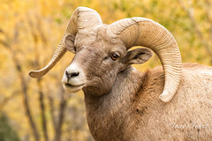 October 22, 2017 - A Bighorn Sheep ram shows off in front of the fall colors. (Tony's Takes)