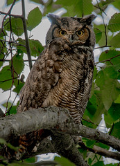 DSC_1944.jpg (~ Bob ~) Tags: mtvernon tamron d500 birdofprey greathornedowl owl nature bird skagit wildlife nikon feisol raptor washingtonstate tree