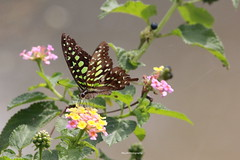 Tailed Jay (SujithPhotography) Tags: savekaggadaspuralake savelakes savebangalorelakes saveenvironment savehabitat butterfly tailed jay