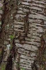 Gars am Kamp (Harald Reichmann) Tags: niederösterreich gars schanzberg baum rinde kirsche struktur muster
