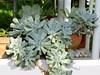 Topsy Turvy (M.P.N.texan) Tags: plant plants succulent succulints topsyturvy echeveria