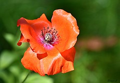 Weekend Poppy (Eleanor (No multiple invites please)) Tags: poppy redflower remembranceday canonspark stanmore uk nikond7200 105mmmacrolens august2017