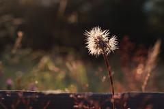sparkling (YanBiBiYan) Tags: plant flower dandelion fence