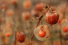 lantern (notpushkin) Tags: orange autumn fall herbst botanic