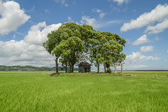 Guardian forest in a reclaimed land. (Yasuyuki Oomagari) Tags: shrine forest reclaimedland rice sunny cloud nikon d810 zeiss distagont2821
