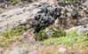 Pika (JohannesLundberg) Tags: eutheria location theria mammalia chukchipeninsulatundra russia chukotkaautonomousokrug expedition ochotonidae arcticislands2017 lagomorpha pevek chaunskydistrict ochotonahyperborea asia ochotona arktiskaöar2017 chukotskyavtonomnyokrug nördlichepfeifhase pa1104 northernpika sibiriskpiphare певе́к пээкин севернаяпищуха ча́унскийрайо́н чаанрайон чуко́тскийавтоно́мныйо́круг chukotskiy ru