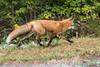 Renard roux / Red fox / 07 octobre 2017 PA072144.jpg (richard.robert999) Tags: renardroux