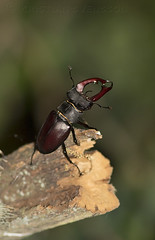 Stag Beetle (Lucanus cervus) (macronyx) Tags: nature wildlife beetle bug skalbagge insect insects insekt insekter ekoxe stagbeetle lucanus lucanuscervus