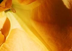 within (Just Back) Tags: flower corolla light stamens botany love glow space science solanaceae petals morphology gold physics medicine art santafe nyc brugmansia bloom secret georgia okeefe