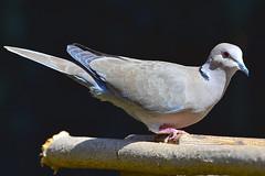 """Ringneck-Dove.01 (DonBantumPhotography.com) Tags: wildlife animals birds ringneckdove """"donbantumphotographycom"""" """"donbantumcom"""" """"nikon d7200"""" """"afs nikkor 200500mm f56e ed vr"""""""