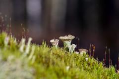 Mushroom (Henrik Axelsson) Tags: bergslagen foliage landsbygd ludvika macro mushroom plant skog svamp dalarnaslän sverige se