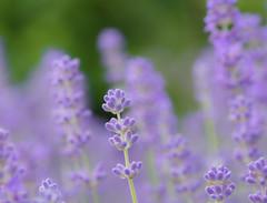 Lavender Fog. (Omygodtom) Tags: dof d7100 flickr flower lavender pov macro bokeh green nikkor natural nikon tamron90mm tamron mist macrodreams garden sunny flora camera vr f28