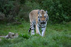 Alex (Mel.Rick) Tags: natur tiere zoo wildpark säugetiere raubtiere tiger amurtiger pantheratigrisaltaica wildparklüneburgerheide alex raubkatzen groskatzen