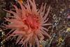 Crimson Anemone (Cribrinopsis fernaldi) (jonmcclintock) Tags: underwater sunshinecoast travel britishcolumbia canada adventure scuba diving strongwater