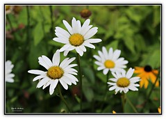 daisies to brighten your day! (MEA Images) Tags: daisies flowers gardens blooms flora nature canon picmonkey