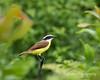 Great Kiskadee Perched (Kiskadee Photography) Tags: socialflycatcher belize crookedtree centralamerica bird birding birder ornithology ornithologist