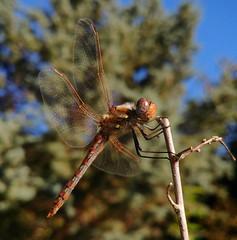 Sympetrum corruptum (RZ68) Tags: varigated meadowhawk dragonfly macro closeup lg lgg6 g6 garden twig wings