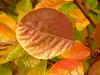 United autumn colors (Jörg Paul Kaspari) Tags: hosingen cotinus coggygria ´golden spirit´ cotinuscoggygria´goldenspirit´ herbstfärbung herbst autumn fall blatt blätter leaf leaves autumncolor gelbgrüner perückenstrauch