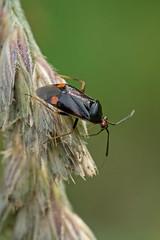 Blindwanze (planetvielfalt) Tags: auenwald cimicomorpha heteroptera miridae schkeuditz sachsen deutschland
