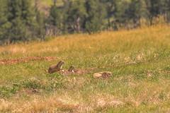 More Prairie Dogs (www78) Tags: hotsprings nationalpark southdakota windcave south dakota wind cave national park prairie dogs