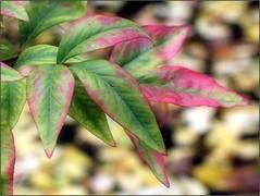 (Tölgyesi Kata) Tags: nandinadomestica japánszentfa égibambusz mennyeibambusz heavenlybamboo sacredbamboo füvészkert botanikuskert botanicalgarden withcanonpowershota620 budapest ősz autumn herbst