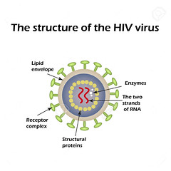 The structure of the AIDS virus. HIV. Vector illustration. (josemalleida) Tags: system biology genome illustration molecule aids medicine morphology science microbe structure immune microbiology protein immunodeficiency hiv receptor health retrovirus cell medical microorganism virus envelope disease infection rna vector matrix healthcare capsid infectious human germs glycoprotein enveloped immunity viral reversetranscriptase lentivirus microscope care core epidemic shape erythrocyte organism bacteria layer blood