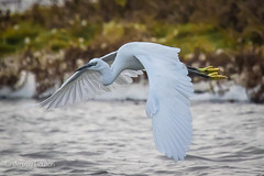 Getting Away (JKmedia) Tags: egrets sparring fighting birds egret boultonphotography canoneos7dmarkii ef100400mmf4556lisusm 14xextender wales anglesey cemlyn 2017 wildife inflight pair wings feathers nature inair midair egrettagarzetta littleegret