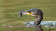 Cormorant and a wiggly fish (NikonNigel) Tags: copyrightâ©nigelcox copyrights