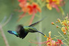 Green-Throated Carib (ronmcmanus1) Tags: bird outdoors wildlife nature antigua caribbean jollyharbour stmarysparish antiguabarbuda