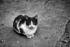 SDIM1058-01 (vazek2007) Tags: cat cats street detailed asphalt portrait vignette dramatic autumn sight blackandwhitephotography blackandwhitephoto bnwphoto bnw monochrome sigma sdquattro foveon