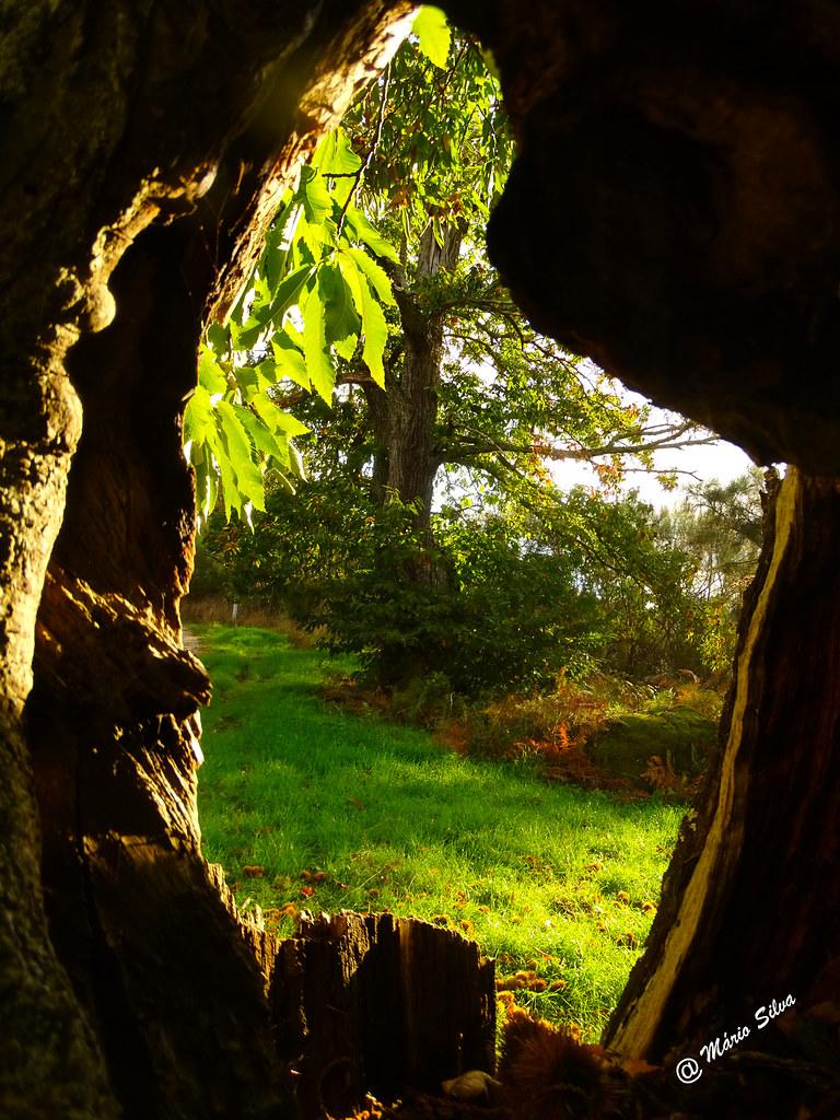 Águas Frias (Chaves) - ... vista do castanheiro do buraco do tronco de outro ...