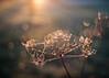 Brighten up my Day (ursulamller900) Tags: pastinake pentacon2829 morningdew morgenlicht sunrise seeds bokeh sparkle golden