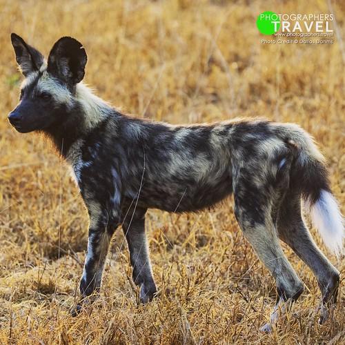 African wild dog - Sabi Sabi 2014
