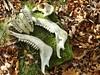 Die Sau ist tot! (zikade) Tags: knochen kiefer zähne wildschwein skelett unterkiefer wirbel oberkiefer