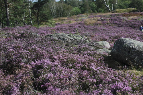 Common Heather - Calluna vulgaris