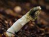 Phallus impudicus (flickrolf) Tags: stinks mushroom phallus putrid fungus