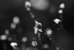 Support (AnyMotion) Tags: seedhead samenstand cupidsdart blauerasselblume catananchecaerulea spidersthread spinnenfaden backlight gegenlicht bokeh 2017 floral flowers botanischergarten frankfurt plants pflanzen anymotion bw blackandwhite sw 7d2 canoneos7dmarkii autumn fall herbst automne otoño ngc npc