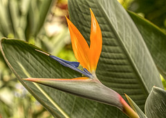 Bird Of Paradise (will139) Tags: strelitzia flower nature beauty beautyinnature southafrica botanical perfume smell garfieldparkconservatory indianapolisindiana growth fragile fragility