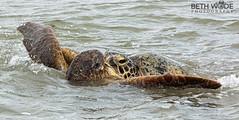 Love is in the Air (Beth Wode Photography) Tags: turtles greenturtles matingturtles kissingturtles cheloniamydas herveybay frasercoast beth wode bethwode