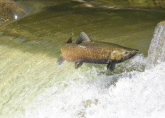 Salmon Run (_talon263_) Tags: fish salmon spawning humber river toronto fall outdoor water nature wildlife