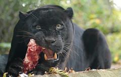 jaguar Mowgli artis BB2A2366 (j.a.kok) Tags: jaguar zwartejaguar blackjaguar pantheraonca mowgli artis animal zuidamerika southamerica mammal zoogdier dier kat cat predator