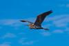 Heron (f_foschi.) Tags: heron airone nikon d500 francesco foschi natura volo flight