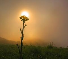 In october (Robyn Hooz) Tags: alba nebbia fiore flower luce oro colline colli hills magic atmosphere atmosfera italia
