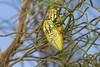 9J5A4642 Jewel beetle Julodis candida. Dubai desert. (Priscilla van Andel) Tags: jewelbeetle matingjewelbeetles julodis julodiscandida