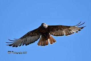 Red-tailed Hawk DSC_8273