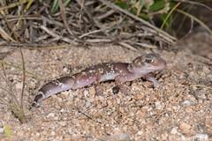 Thick-tailed Gecko (Underwoodisaurus milii) (shaneblackfnq) Tags: thicktailed gecko underwoodisaurus milii shaneblack lizard reptile port kenny eyre south australia peninsula